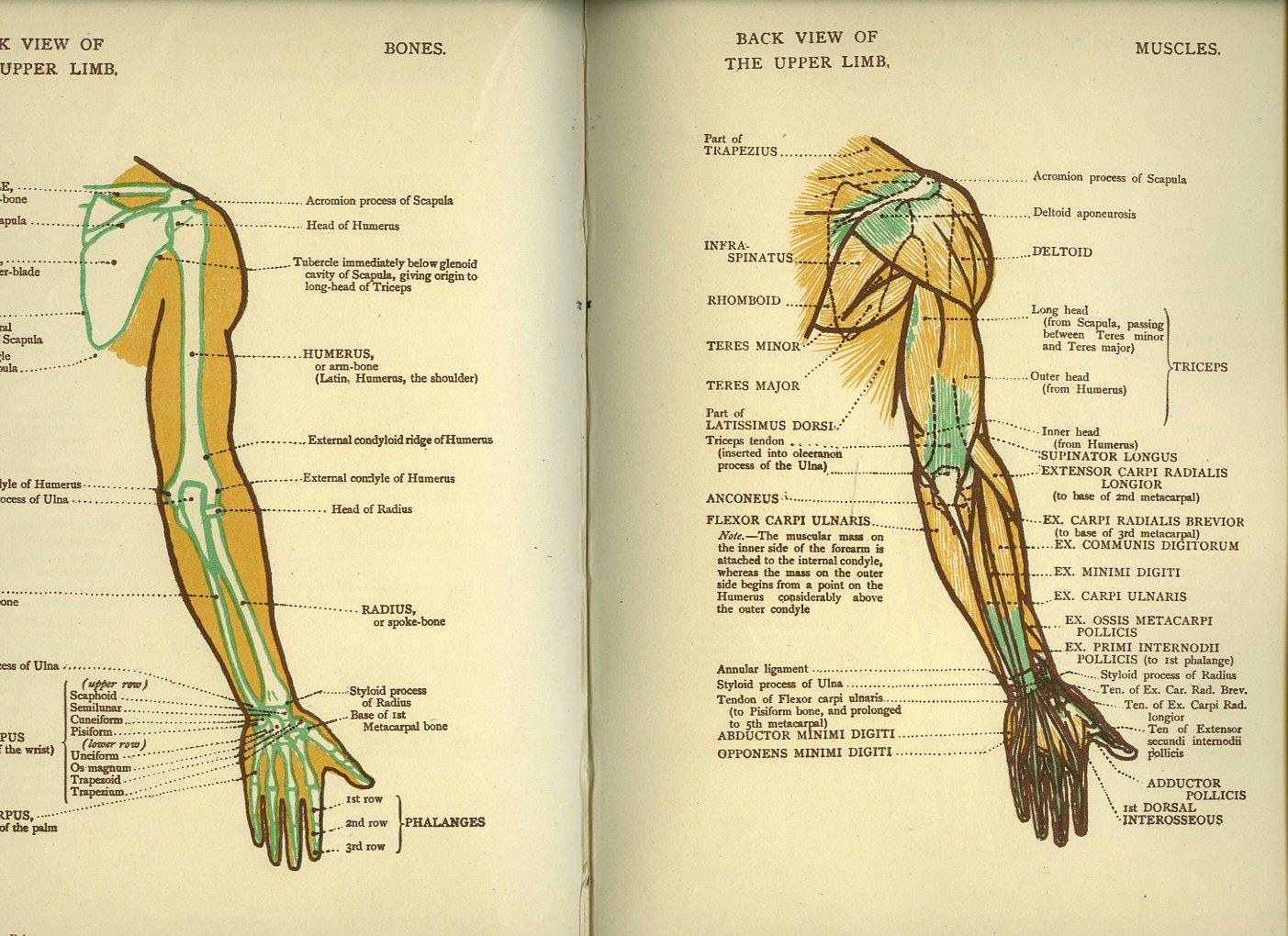 Anatomy of upper limb bones